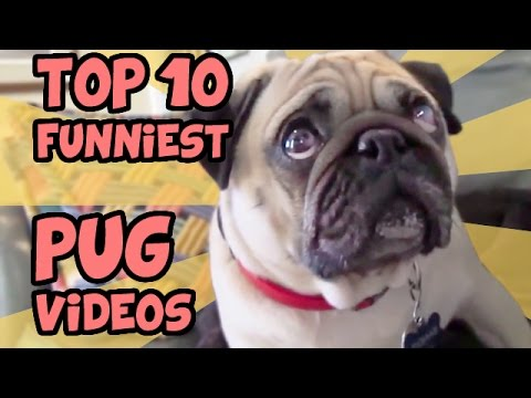 top 10 funniest pugs!