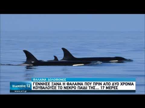 Γέννησε ξανά η φάλαινα που κουβαλούσε το νεκρό παιδί της | 07/09/2020 | ΕΡΤ