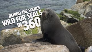 Fur Seals in 360