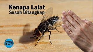 Video Kenapa Lalat Sulit Ditangkap Dengan Tangan ? MP3, 3GP, MP4, WEBM, AVI, FLV Maret 2019