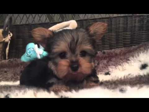 Gorgeous little male Yorkie puppy!