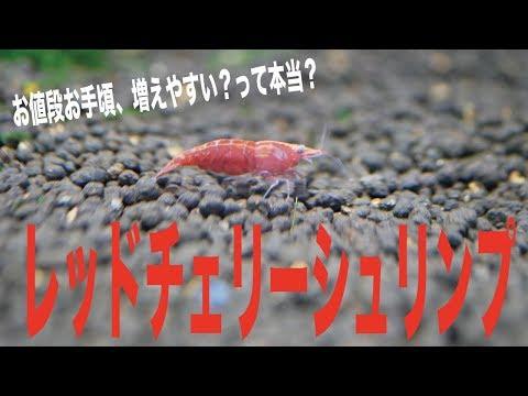 【アクアリウム】初めてのレッドチェリーシュリンプの繁殖に挑戦
