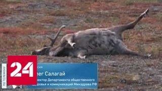 На Ямале бушует сибирская язва