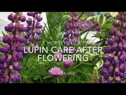How to care for Lupins after flowering