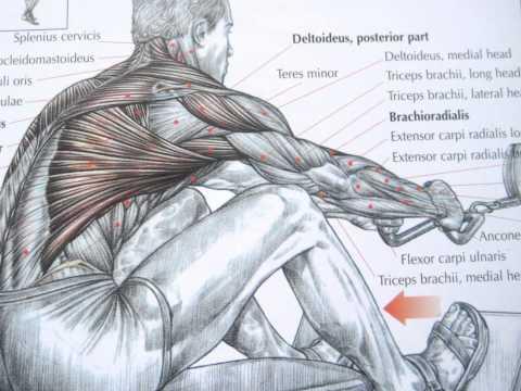 Bodybuilding back exercises and anatomy