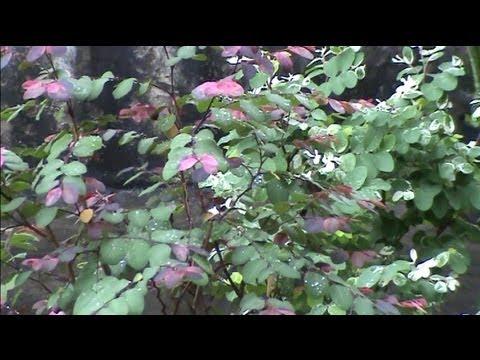 Arbustos con flor y hoja perenne videos videos - Arbustos de jardin de hoja perenne ...