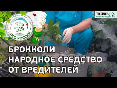 Борьба с вредителями капусты народными средствами. Опрыскивание капусты настоем листьев томата.
