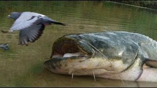 CATFISH VS PIGEON NEW AMAZING FOOTAGE by CATFISHING WORLD