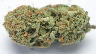 Orange Crush - (Strain Review) by Strain Central