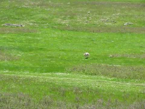 Dog & Coyote Meet in Meadow in SD