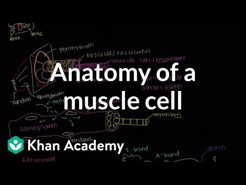 Anatomy of a skeletal muscle cell (video) | Khan Academy