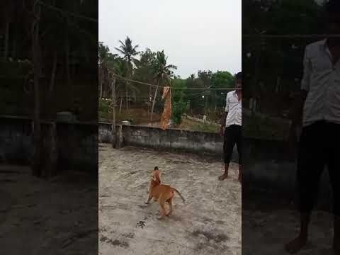 Kombai 3 Month Old Jump