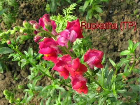 Antirrhinum, calendula and other flower pictures