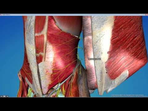 Dental Gross Anatomy Lab 3   Anterior Abdominal Wall