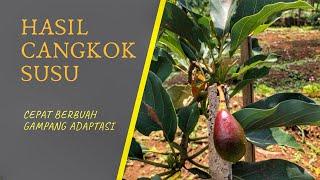 Video Bag.2 cara membuat pohon mangga kerdil, mangga mini, bonsai mangga MP3, 3GP, MP4, WEBM, AVI, FLV September 2018