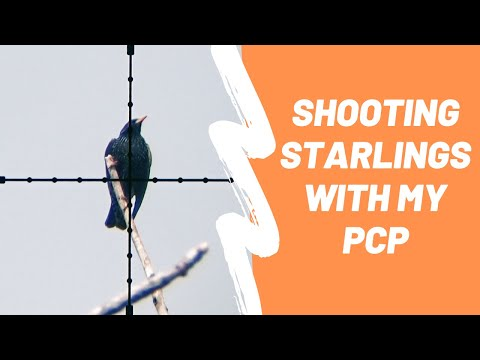 Shooting Starlings with a PCP - Airgun Pest Control ep. 3 - BHT