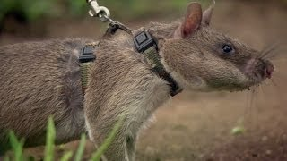 Rats Save Humans From Landmines | Extraordinary Animals | Series 2 | Earth