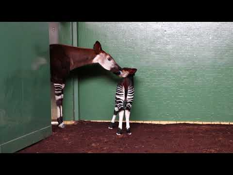 London/Großbritannien: Zoo London (ZSL) mit dem Okapi-N ...