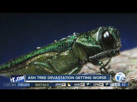 Ash tree destruction getting worse