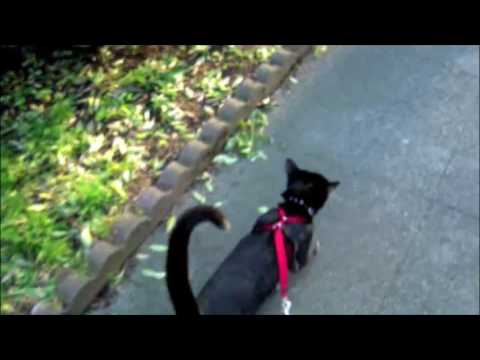 Training my cat to walk on a leash