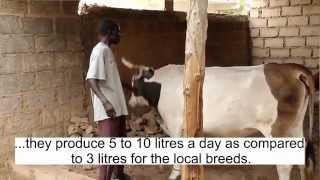 Video Of Senegal Dairy Genetics Project Farmers Discussing The Importance Of Dairy