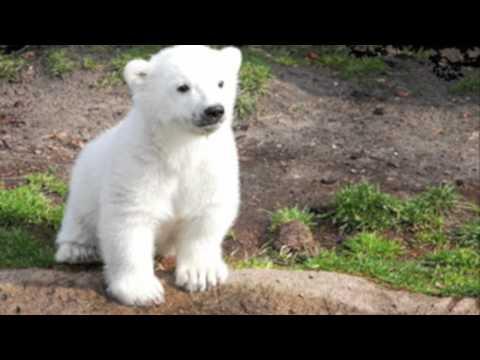 In Loving Memory of Knut (видео)