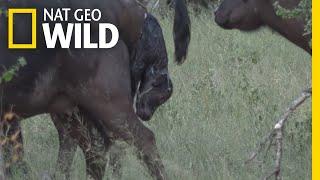 Watch a Wild Buffalo Give Birth in Africa | Nat Geo Wild by Nat Geo WILD