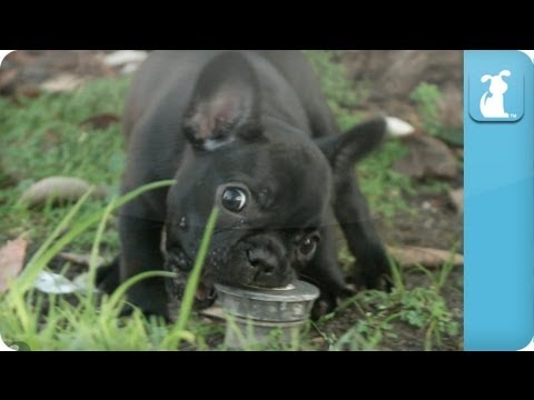 French Bulldog Puppies - Puppy Love