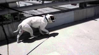 Canine  Myasthenia Gravis Syndrome
