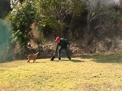 Adiestramiento canino en monterrey nuevo leon/ FARGO PBM REGIOCAN