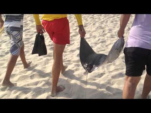 Bombeiros carregam Arraia morta na Praia Grande   Cidade Ocian