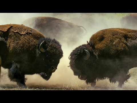 Bison Fight for Mating Rights | BBC Earth