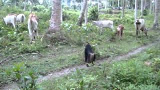 Download Video Kera Hutan penggembala Sapi di Sulawesi Tengah MP3 3GP MP4