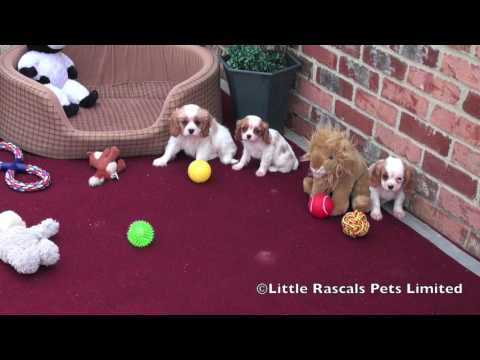 Cavalier King Charles Spaniel For Sale in Lincoln