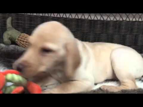 Classic, stalky yellow Lab puppy