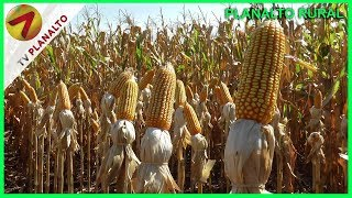 Coodetec e Rincão apresentam novas variedades de milho em dia de campo
