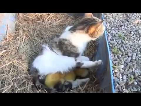 gatto che cova anatroccoli. fantastico!!!!