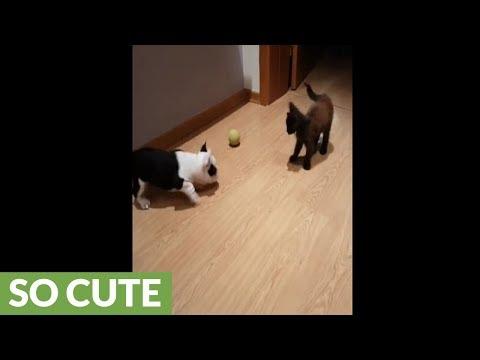 il-cucciolo-di-french-bulldog-ed-il-gattino