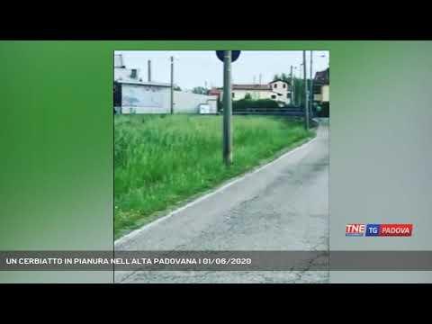 UN CERBIATTO IN PIANURA NELL'ALTA PADOVANA   01/06/2020
