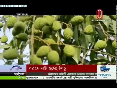 Lychee farmers suffer loss in heat wave (27-04-2016)