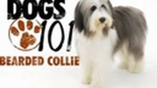 Dogs 101 - Bearded Collie