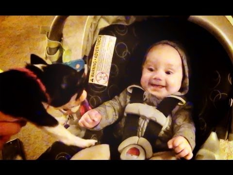Baby DudeL Reacts To Tea Cup Chihuahua Puppy!