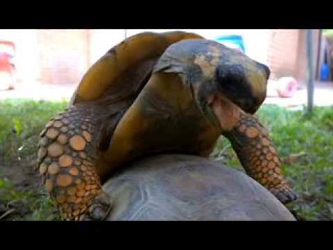烏龜公然打野戰,還發出愛愛的叫聲!