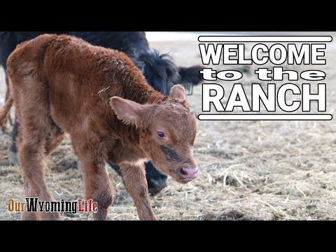 Calving Season 2019 Begins On The Ranch