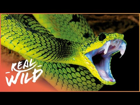World's Deadliest Venom (Snake Documentary) | Real Wild