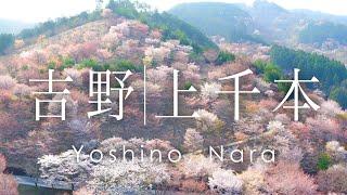 空撮 奈良 吉野山 上千本の桜 | Cherry blossoms in Mt. Yoshino Nara, Japan