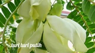 Turi-turi putih versi dangdut enak di dengar sebagai pengingat kita