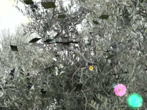 Una passeggiata in mezzo alle olive Leccino
