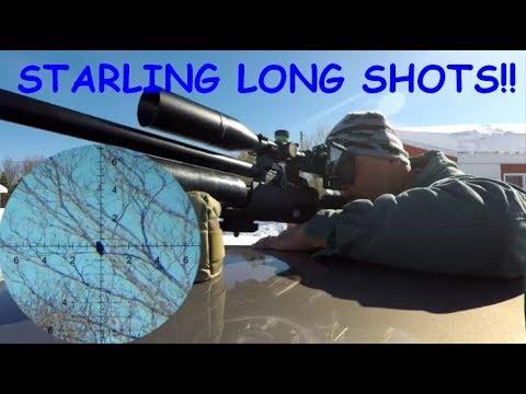 Long shots on Starlings!!  (PEST CONTROL/HUNTING/SHOOTING)
