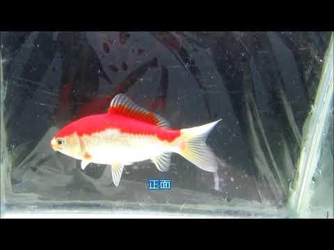 庄内金魚(ふりそで金魚) 1    2才 ♂   14㎝ 7月10日撮影